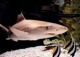 ¿El Cartílago de Tiburón Cura la Artritis?
