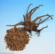 Garra del diablo con grosellas negras para la artrosis